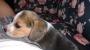 Vnedo hermosos cachorros  beagles pura  raza