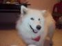 venta de perros somoyedos bogota colombia el envio en la ciudad es gratis
