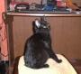 Gato Negro Adulto Busca hogar.