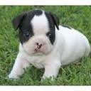 Bulldog frances venta perros cachorros  3103754882 ? ( 092 ) 3230137 cali-colombia