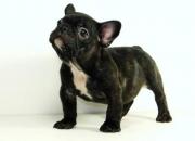 Yorkshire Terrier & Bulldog Francés - Criadero LA MASCOTTE