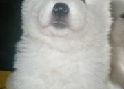 Cachorros Samoyedo a la venta! Junio 2011