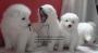 Hermosos Cachorros Samoyedo. A la venta. Con certificado de pureza