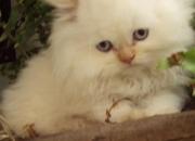 Gatos Persa, Vendo Hermosos Gatitos Persa