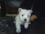 west highland white terrier , westy cachorros extrablancos 100% puros