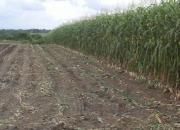 Venta silo de maiz de excelente calidad