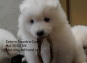 Peludos, blancos..hermosos cachorros SAMOYEDO a la venta! Certificamos pureza!!