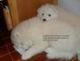 Hermosos Cachorros SAMOYEDO con certificado de pureza, En Bgta....