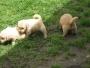 vendo cachorros golden