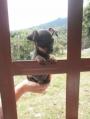 Preciosos perros pinscher pincher bolsillero