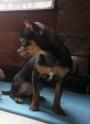 Perro Chihuahua busca novia - Florencia, CAQUETA
