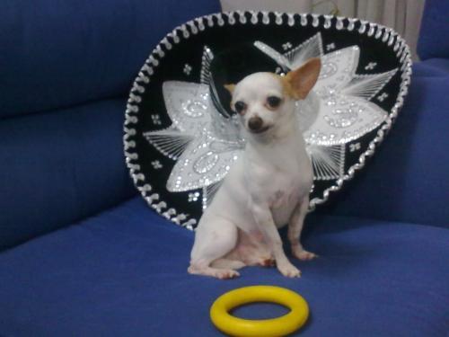 Chihuahua blanco para monta en bogotá