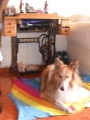 DAR EN ADOPCION PASTOR COLLIE