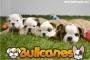 BULLCANES - Bulldog Francés  a la venta Espectaculares!!