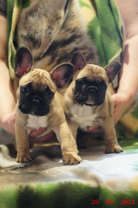 Fotos de Bulldog frances 64 dias fawn 2