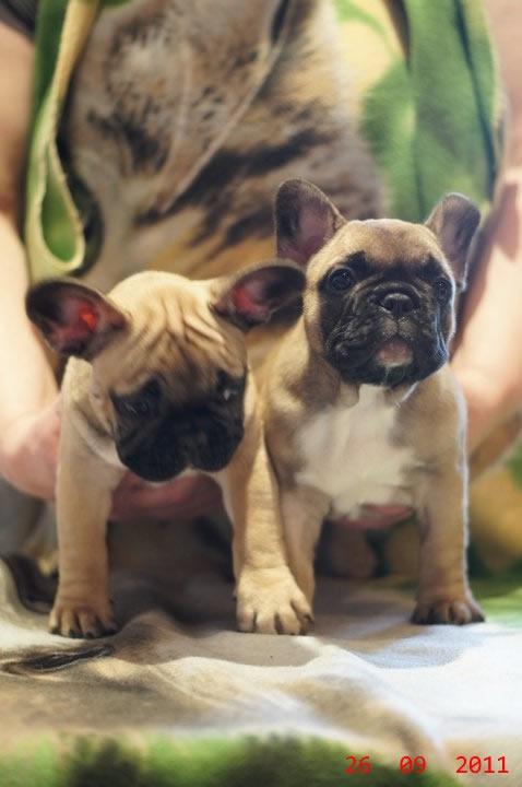 Fotos de Bulldog frances 64 dias fawn 3
