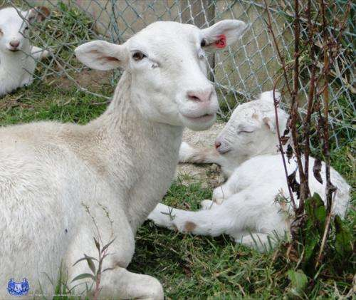 Corderos katahdin full blood reproductores