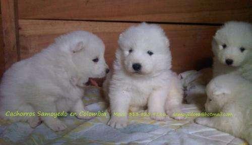 Samoyedo en colombia, cachorros en venta