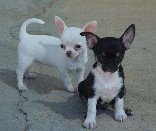 **** preciosos cachorros colombia ****