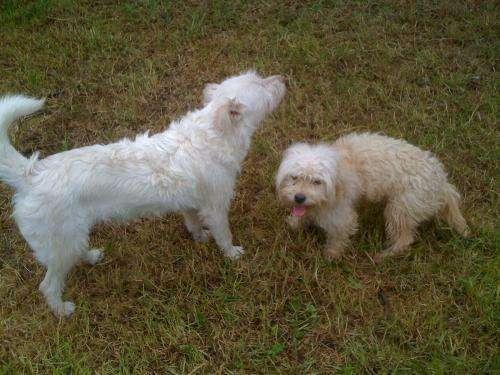 Regalo perros criollos adultos sanos