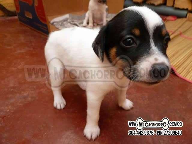 Se vende cachorro fox terrier hembra o macho en medellin con envio a todas las ciudades