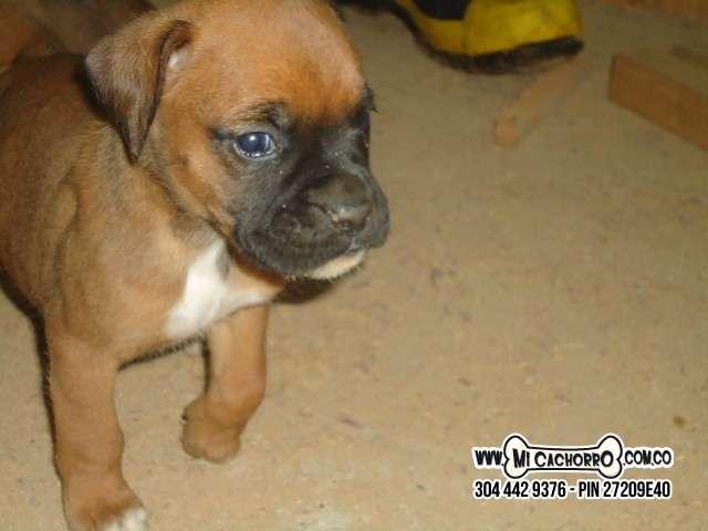 Cachorro en venta boxer hembra o macho en medellin con envio a todas las ciudades
