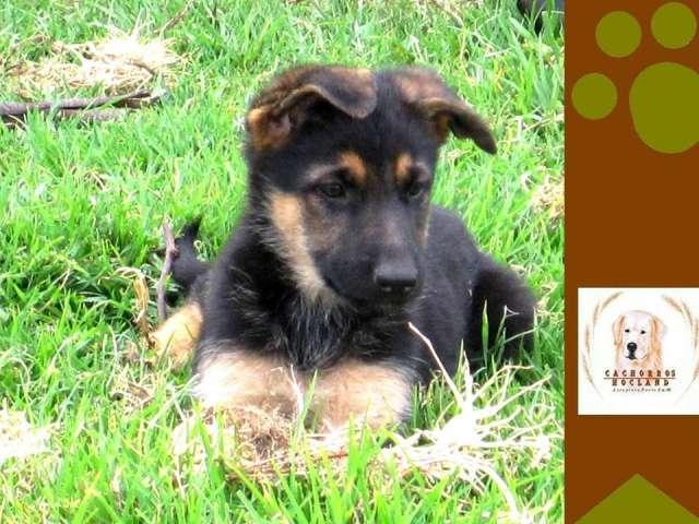 Magnificos cachorros pastor aleman cria selectiva criadero hocland
