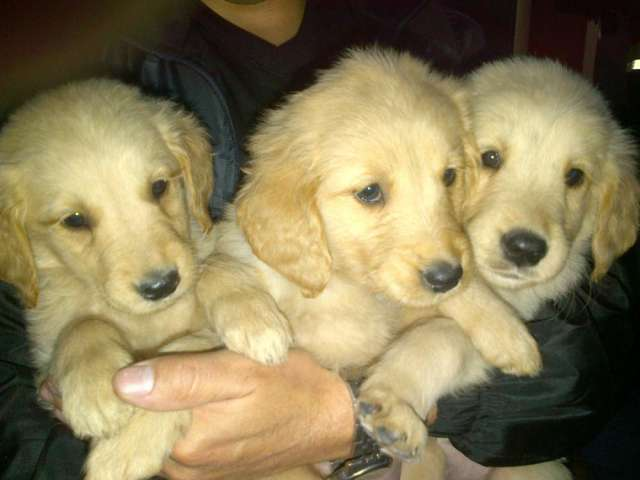 Vendo lindos cachorros golden retriever