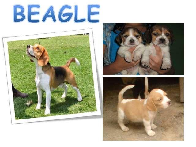 En navidad venta de los mejores perros cachorros de criadero diferentes razas