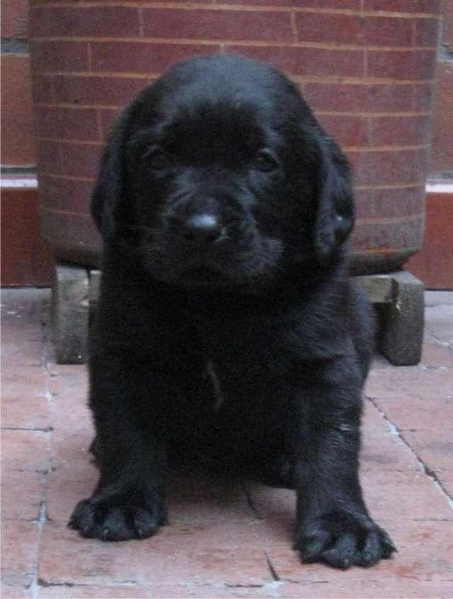 Labradores retriever negro siete semanas para navidad