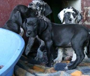 Gran danes en venta cachorros dogo aleman de criadero en colombia