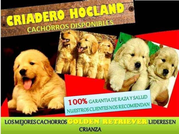 Cachorros golden criadero hocland lideres en cria selectiva