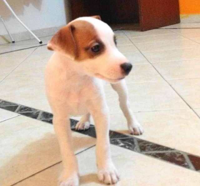 Jack russell terrier macho a la venta