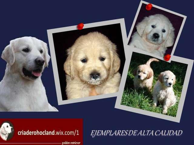 Cachorros golden criadero hocland ejemplares de alta calidad