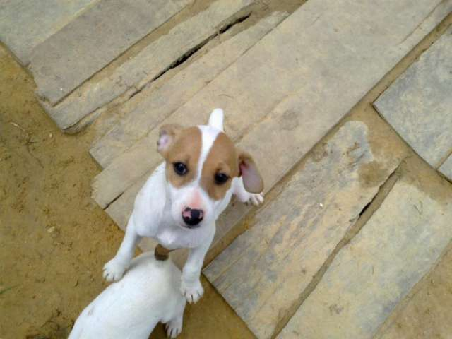 Venta de cachorros jack russell terrier