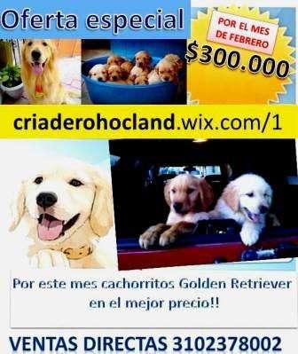 Cachorros golden criadero hocland precio especial san valentin