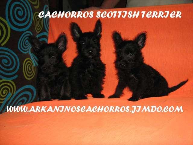 Hrmosos perros cachorros a la venta de criadero arkaninos