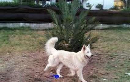 Cachorros pastor blanco suizo colombia