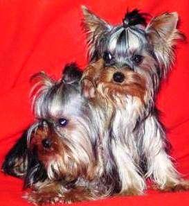 Venta de cachorros varias razas disponibles envios aereos