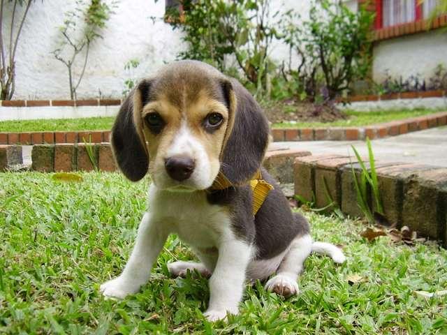 Fotos de Vendo hermosa perrita beagle 2 meses tricolor 2
