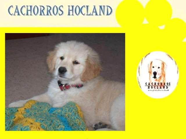 Insuperables cachorritos golden de criadero hocland