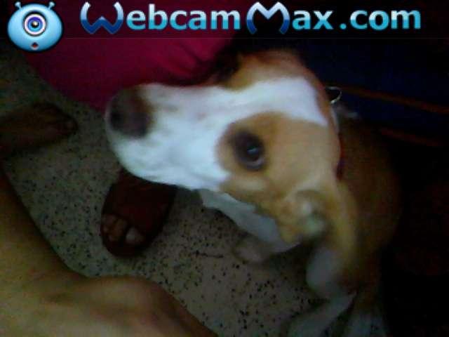 Vendo hermosa beagle limon muy barata
