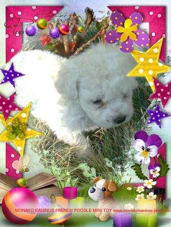 Venta de cachorros french poodle mini toy blancos bogota