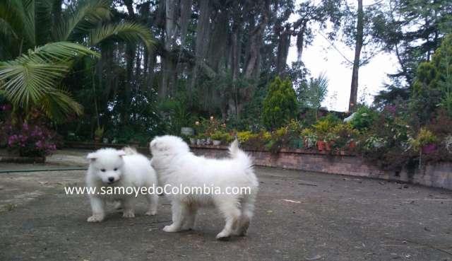 Vendo perros samoyedo camada agosto 2013 certificados
