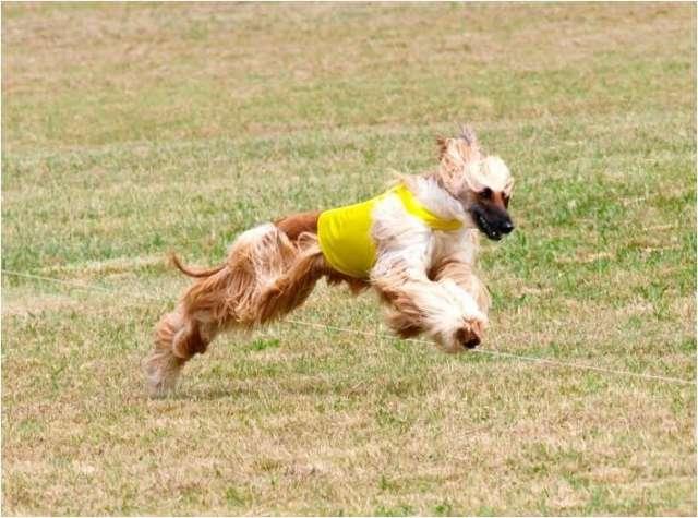 Hermosos cachorros en venta entrega inmediata afganos de criadero