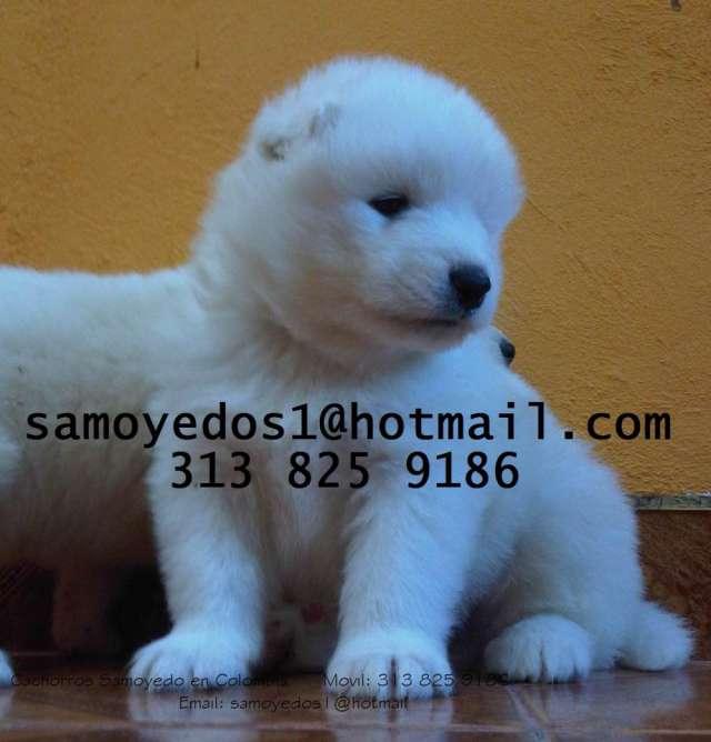 Vendo cachorros samoyedo garantía raza entrega inmediata