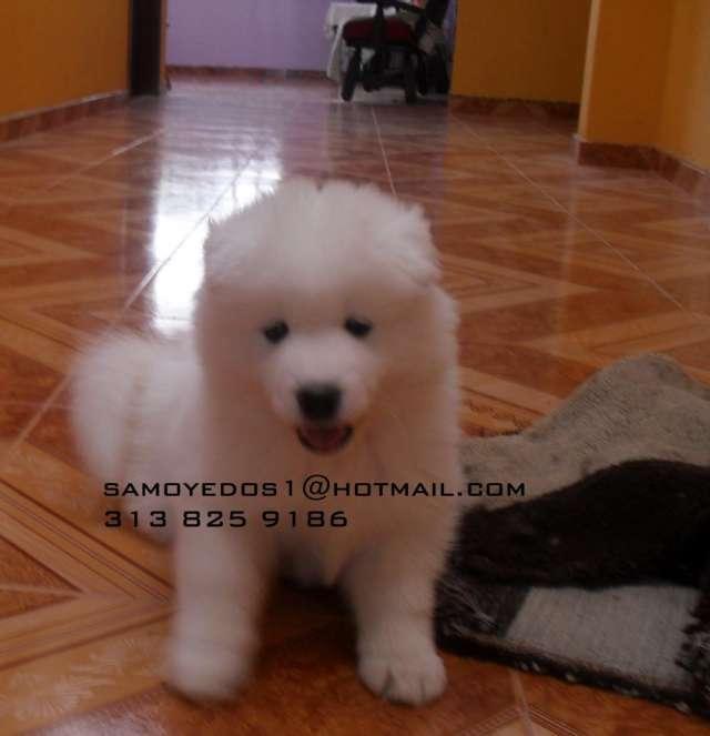 Perro perfecto cachorros samoyedo en colombia certificados 2013