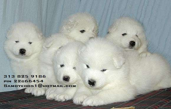 Samoyedo perros en venta cariñosos nobles bogota 2013