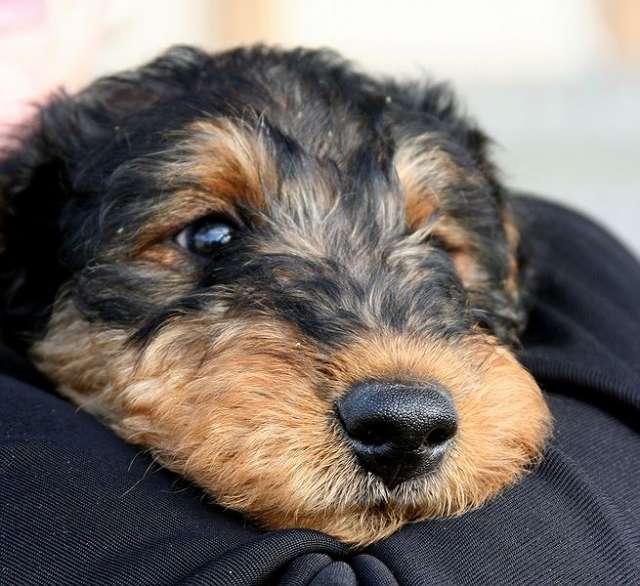 Cachorros en venta airedale terrier criadero entrega inmediata
