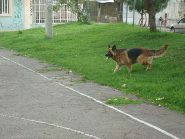Fotos de Se venden hermosos cachorros pastor alemán 2